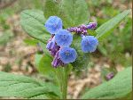 Virginia Bluebell (Mertensia virginica), flower