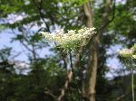 Queen Anne's Lace (Daucus carota), tech