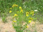 Common St. Johnswort (Hypericum perforatum), tech