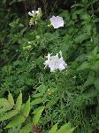 Musk Mallow (Malva moschata), tech