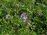 Greek Valerian (Polemonium reptans), tech