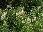 Bouncing Bet (Saponaria officinalis), tech