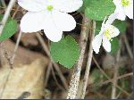 Rue Anemone (Thalictrum thalictroides), leaf