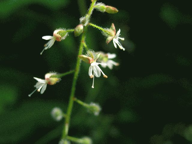 Enchanter's Nightshade (Circaea quadrisulcata)