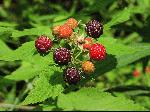 Black Raspberry (Rubus occidentalis), fruit/seed