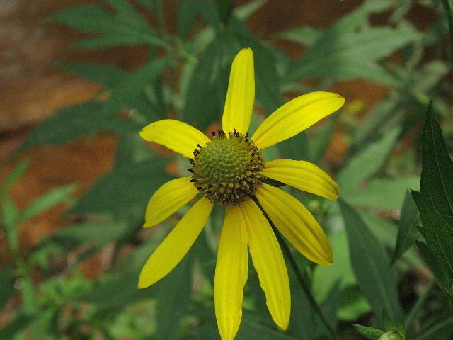 Tall Coneflower (Rudbeckia laciniata)