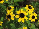 Thin-Leafed Coneflower