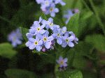 True Forget-Me-Not (Myosotis scorpioides), flower