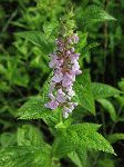 Rough Hedge-Nettle (Stachys tenuifolia), flower