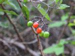 Deadly Nightshade (Solanum dulcamara), fruit/seed