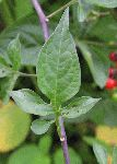 Deadly Nightshade (Solanum dulcamara), leaf