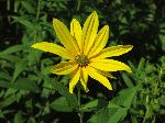 Woodland Sunflower (Helianthus divaricatus), flower