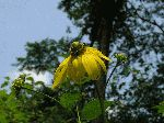 Tall Coneflower