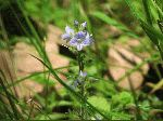 Common Speedwell (Veronica officinalis), flower