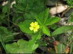 Common Cinquefoil (Potentilla simplex), flower