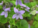 Dog Violet (Viola conspersa), flower