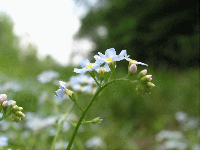 True Forget-Me-Not (Myosotis scorpioides)