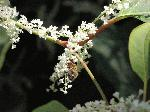 Japanese Knotweed (Polygonum cuspidatum), flower