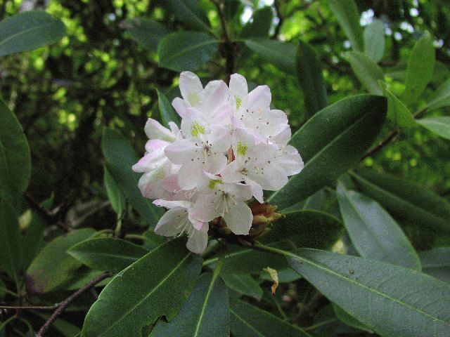 Great Laurel (Rhododendron maximum)