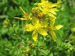 Common St. Johnswort (Hypericum perforatum), flower