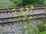 Winter Cress (Barbarea vulgaris), flower