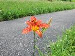 Day Lily (Hemerocallis fulva), flower