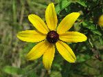 Black-Eyed Susan