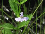 Square-Stemmed Monkey Flower (Mimulus ringens), flower