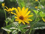 Pale-Leaved Sunflower