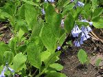 Virginia Bluebell (Mertensia virginica), leaf