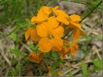 Plains Wallflower