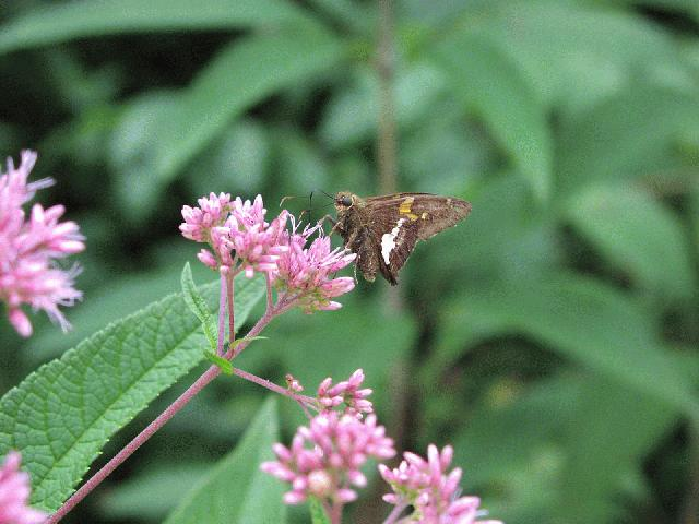 Hollow Joe-Pye Weed (Eupatorium fistulosum)
