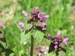Purple Dead Nettle (Lamium purpureum), flower