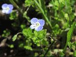 Persian Speedwell (Veronica persica), flower
