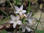 Spring Beauty (Claytonia virginica), flower