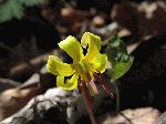 Trout Lily (Erythronium americanum), flower