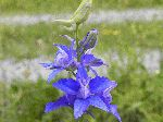 Rocket Larkspur