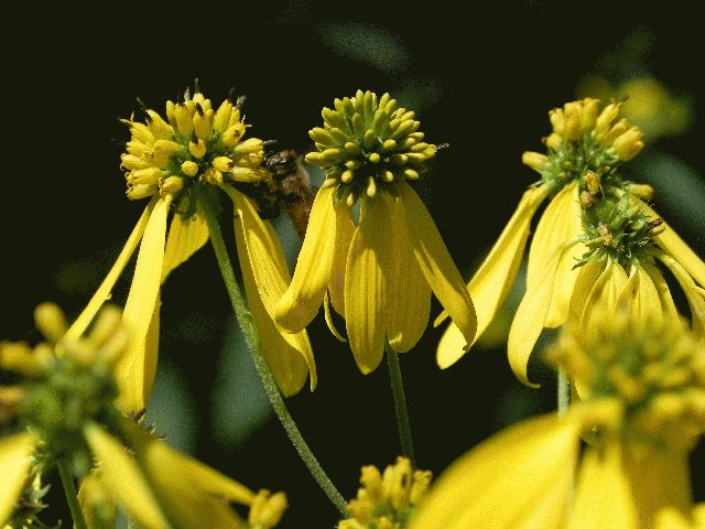 Wingstem (Actinomeris alternifolia)
