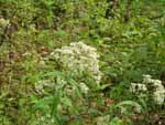 Upland Boneset (Eupatorium sessilifolium), tech