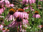 Eastern Purple Coneflower (Echinacea purpurea), flower