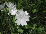 Musk Mallow (Malva moschata), flower