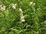 Meadowsweet (Spiraea latifolia), tech