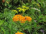 Butterfly Weed (Aslepias tuberosa), flower