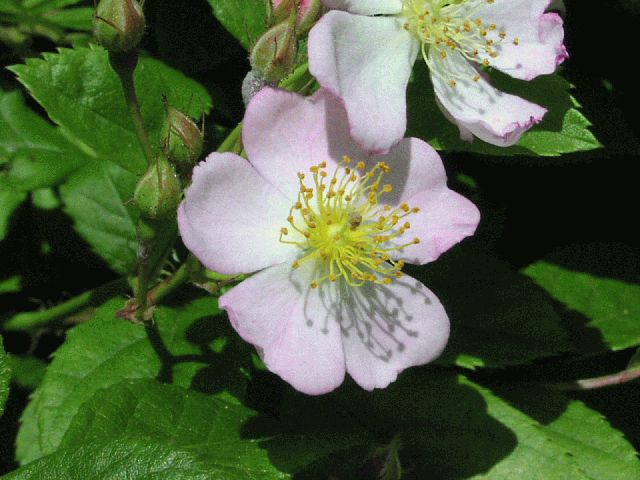 Virginia Rose (Rosa virginiana)