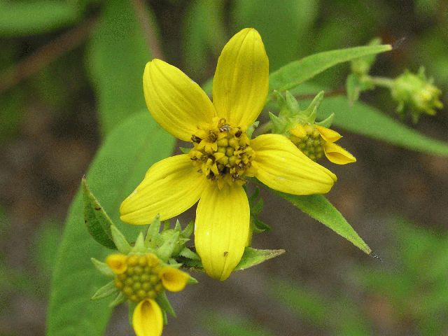 Small Wood Sunflower (Helianthus microcephalus)
